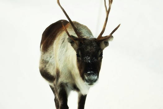 Reindeer walking towards the camera - soft by Intensivelight
