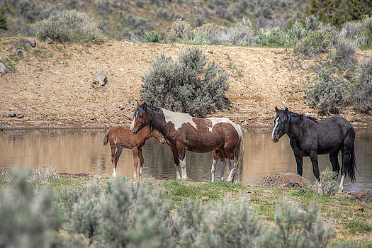 Resting at the Water Hole - South Steens Mustangs 01008 by Kristina Rinell