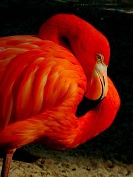 resting Flamingo by Vijay Sharon Govender