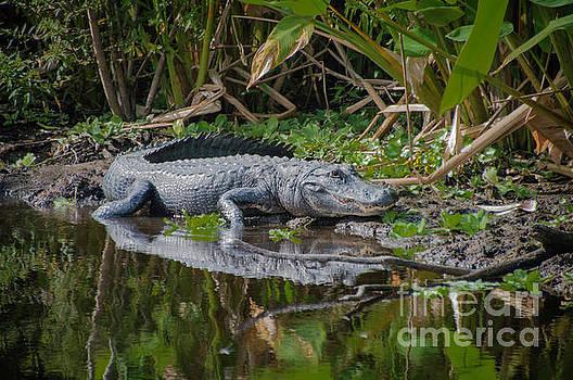 Resting Gator by Judy Hall-Folde