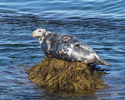 Resting Grey Seal by Jurgen Lorenzen