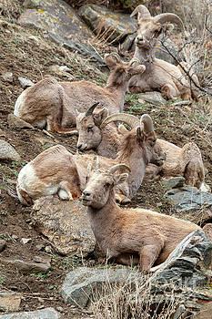 Resting Herd of Bighorn Sheep by Steve Krull