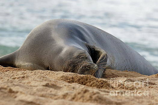 Resting Monk Seal by P W