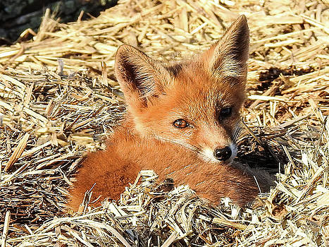 Resting Young Red Fox by Kathy Gail
