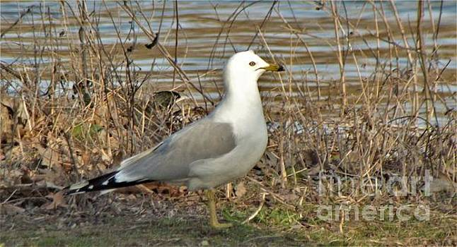 Ring Billed Gull At Riverside          April           Indiana by Rory Cubel