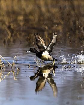 Ring Necked Drake taking Flight  by Rick Grisolano Photography LLC