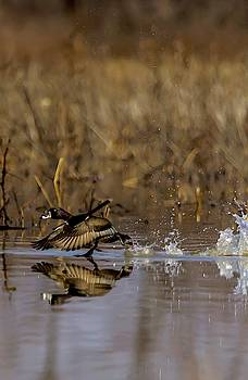 Ring Necked Duck on the Run by Rick Grisolano Photography LLC