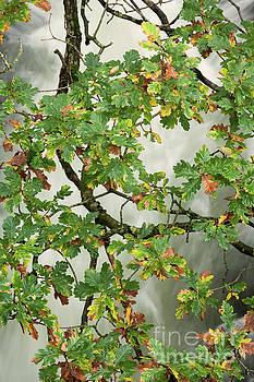 River Esk oak tree branch by Gavin Dronfield