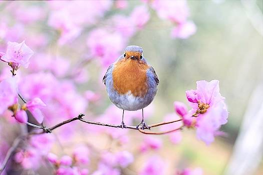 Robin on pink flowers by Top Wallpapers