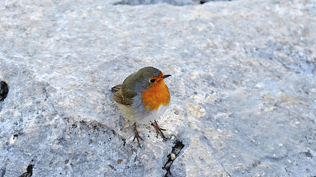 Robin on Rock by August Timmermans