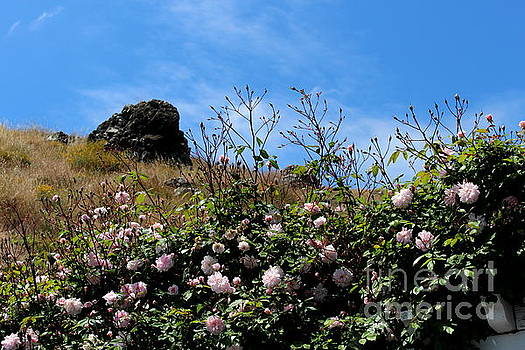 Rock and Roses by Katherine Erickson