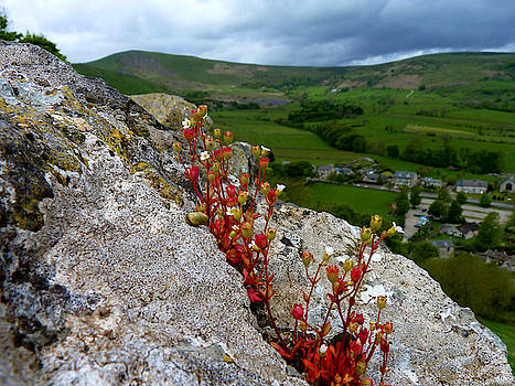Rock Plant - The Beauty of Nature - Pevril Castle, Castleton, Hope Valley, Derbyshire Peak District  by Chris Gill