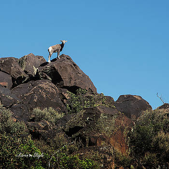 Karen Slagle - Rocky Mountain Big Horn Sheep