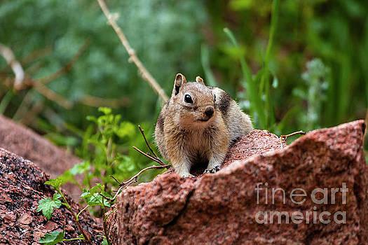 Rocky Mountain Chipmunk by Steve Krull