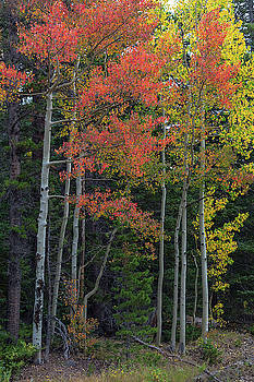 Rocky Mountain Forest Reds by James BO Insogna
