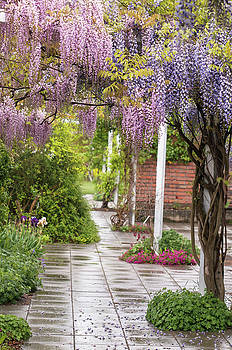 Jenny Rainbow - Romantic Blooms of Purple and Pink Wisterias
