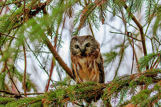 Gary Hall - Roosting Saw-whet Owl