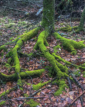Roots by Brian MacLean