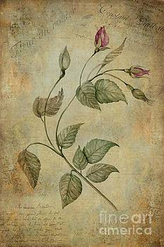 Rose by John Edwards