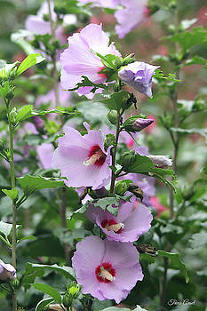 Rose of Sharon Flowers by Trina Ansel