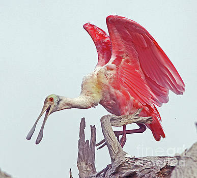 Roseate Spoonbill Show-off by Larry Nieland