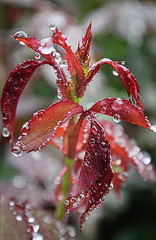 Rosebud Leaves Morning Dew by Todd Dunham