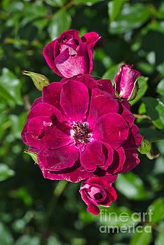 Roses On Display by Joy Watson