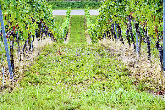 Row Of Grape Vines Next To The Basilica Birnau On The Shores Of Lake Constance In Germany by Richard Rosenshein