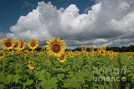 Dale Powell - Rows of Sunshine - Sunflower Field