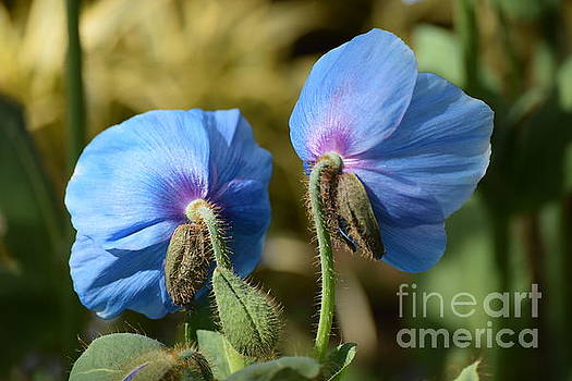 Royal Blue Poppies by Jeannie Rhode