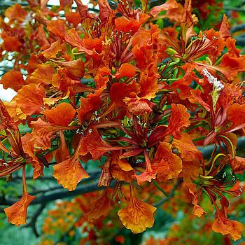 Royal Poinciana Flowers by Jackson Ball