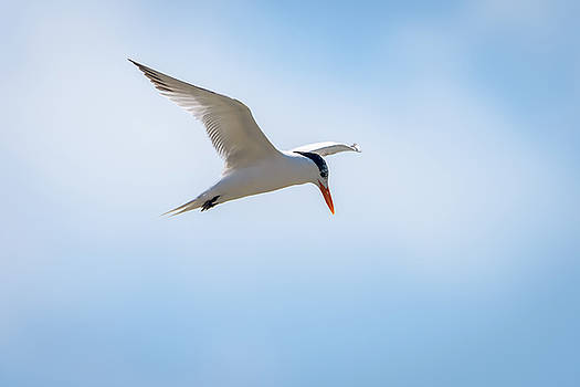 Royal Tern In Flight by Debra Martz