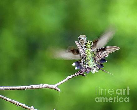 Ruby-throated Hummingbirds In A Head On Rumble by Cindy Treger