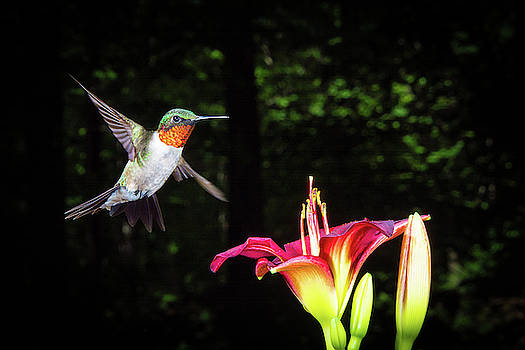 Ruby Throated Hummer by John Wilkinson