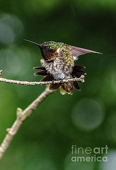 Cindy Treger - Ruby-throated Hummingbird And The Lone Raindrop