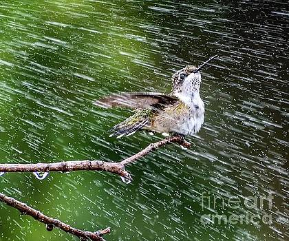 Ruby-throated Hummingbird Enjoying The Sprinkler by Cindy Treger