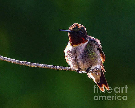 Ruby-throated Hummingbird In The Morning Light by Cindy Treger