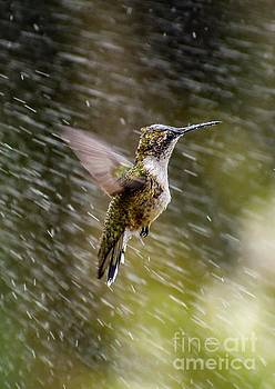 Ruby-throated Hummingbird Playing In The Sprinkler by Cindy Treger