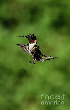 Ruby-throated Hummingbird Putting On The Brakes by Cindy Treger