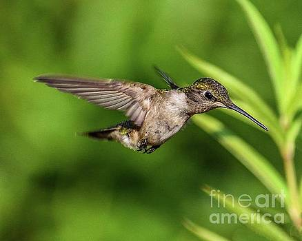 Ruby-throated Hummingbird Swooping In With Its Eyes On The Target by Cindy Treger