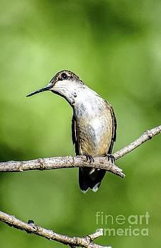 Cindy Treger - Ruby-throated Hummingbird With A Cute Head Tilt