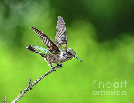 Ruby-throated Hummingbird With A Lovely Wing Display by Cindy Treger