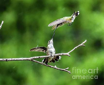 Ruby-throated Hummingbirds Having Some Fun Series #1 by Cindy Treger