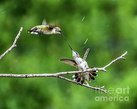 Ruby-throated Hummingbirds Having Some Fun Series #2 by Cindy Treger