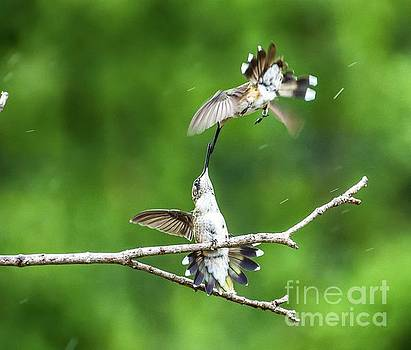 Ruby-throated Hummingbirds Having Some Fun Series #3 by Cindy Treger