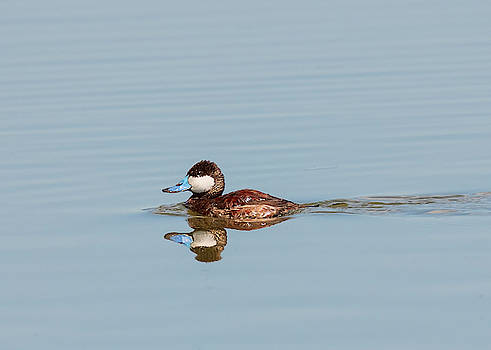 Loree Johnson - Ruddy Duck in Breeding Color