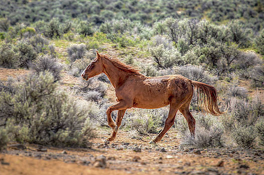 Running Free - South Steens Mustangs 01039 by Kristina Rinell