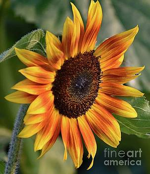 Cindy Treger - Rust And Gold Sunflower