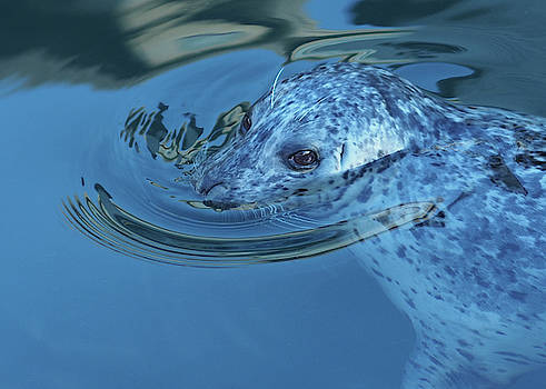 Sad-Eyed Harbour Seal by Keith Boone