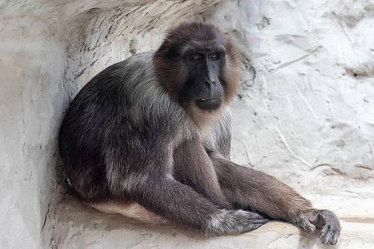 Sad Monkey by David Stasiak